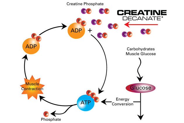 an overview of creatine and how it produces energy to the muscles Creatine supplements are athletic aids used to increase high-intensity athletic performance researchers have known of the use of creatine as an energy source by skeletal muscles since the middle of the 20th century.