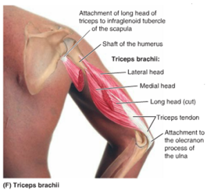 Tricep muscles anatomy