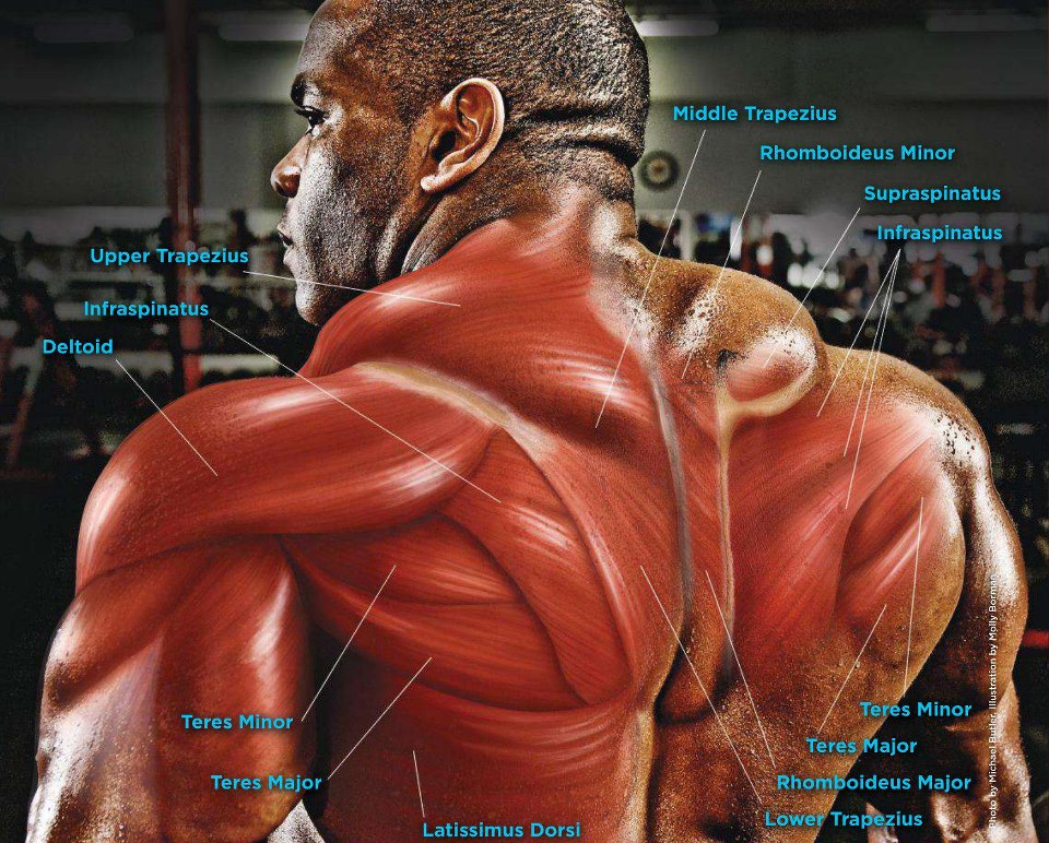 The Anatomy Of The Back Muscles • Bodybuilding Wizard