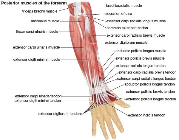 Muscles of the Forearm • Bodybuilding Wizard