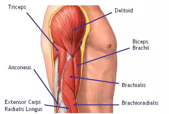 meet your arm muscles - biceps brachii • bodybuilding wizard, Human Body