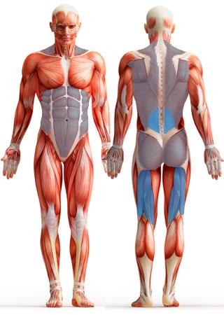 Muscles Engaged in Stiff-Leg Deadlift