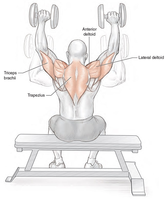 Seated Dumbbell Shoulder Press - Muscles Activation