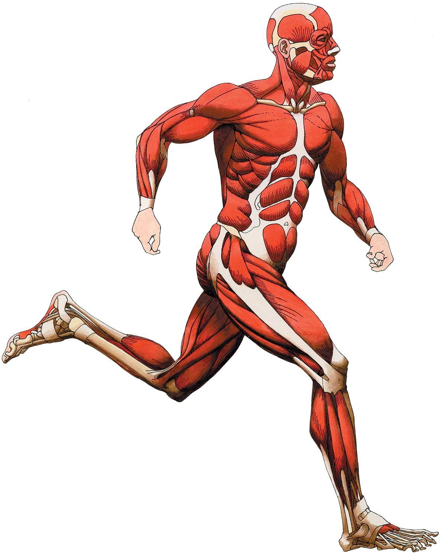 Major Muscle Groups Bodybuilding Wizard