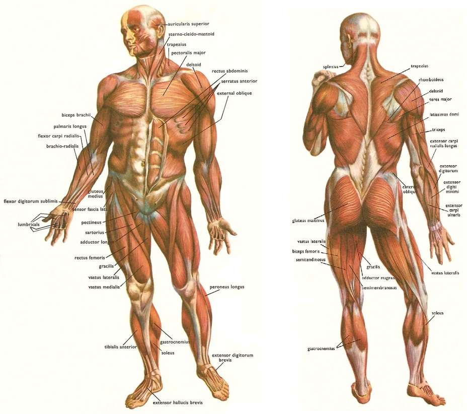 Major Muscle Groups • Bodybuilding Wizard
