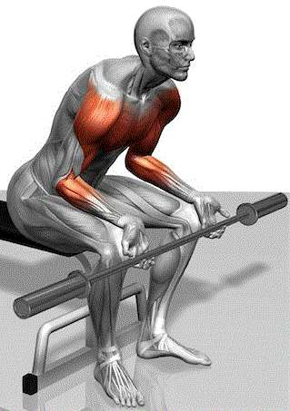 Seated Wrist Curls - Forearms on top of your thighs while seated on a bench