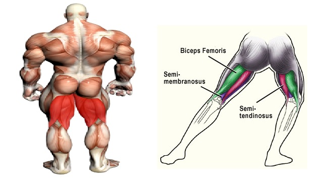 The anatomy of the hamstring muscles