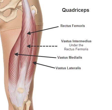 Bodybuilding Anatomy     Quadriceps FemorisQuadriceps Femoris