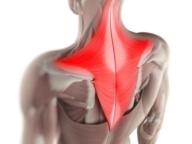 Trapezius muscles (Traps)