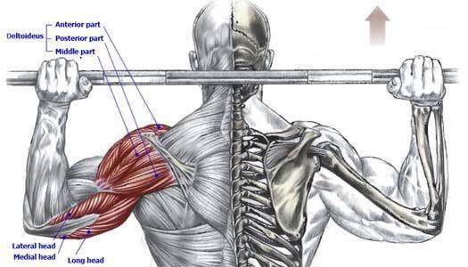 Muscles Used in Behind the Neck Shoulder Press