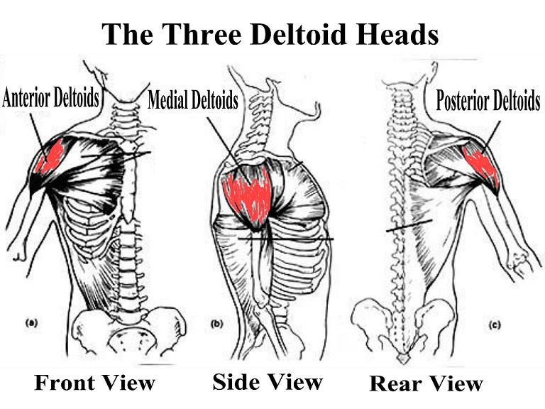 The Anatomy of the Deltoid Muscle