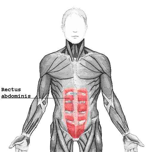 Meet Your Muscles Abdominal Muscles Anatomy Bodybuilding Wizard