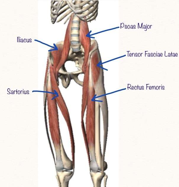 Anterior Muscles of the Hip - Hip Flexors