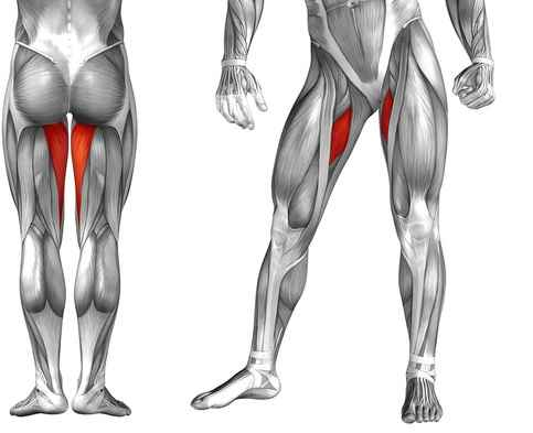 Medial Muscles of the Hip - Hip Adductors