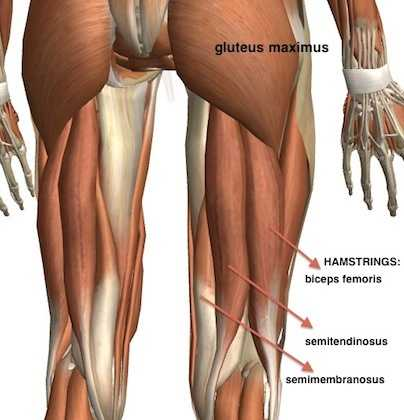 Posterior Muscles of the Hip - Hip Extensors
