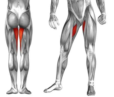 Hip adductor muscles of the inner thigh