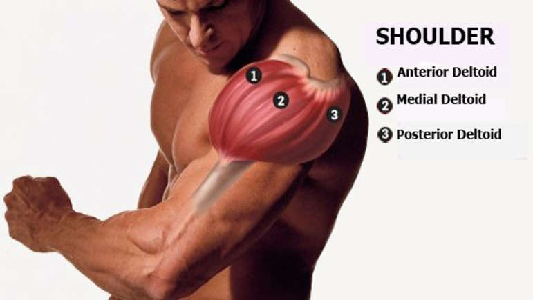 Anterior Deltoid Functional Anatomy Guide Bodybuilding Wizard