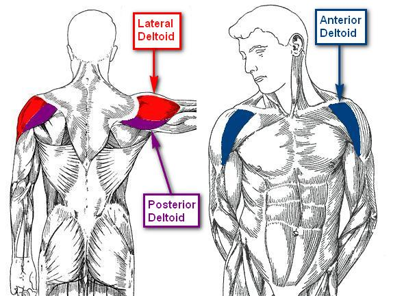 Anatomy of the deltoid muscle