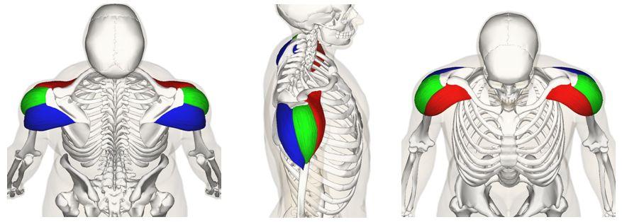 Anatomy of the deltoid