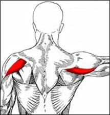 Posterior deltoid muscle anatomy