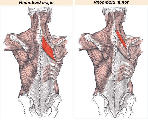 rhomboid muscles powerful scapular retractors bodybuilding wizard