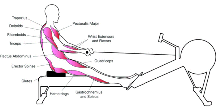 rowing ergometer muscles worked