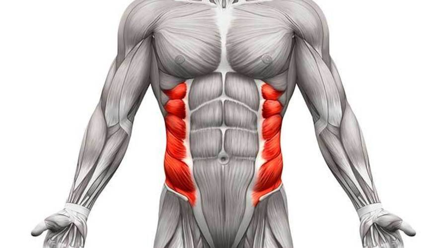 Abdominal Oblique Muscles: Functional Anatomy Guide • Bodybuilding ...