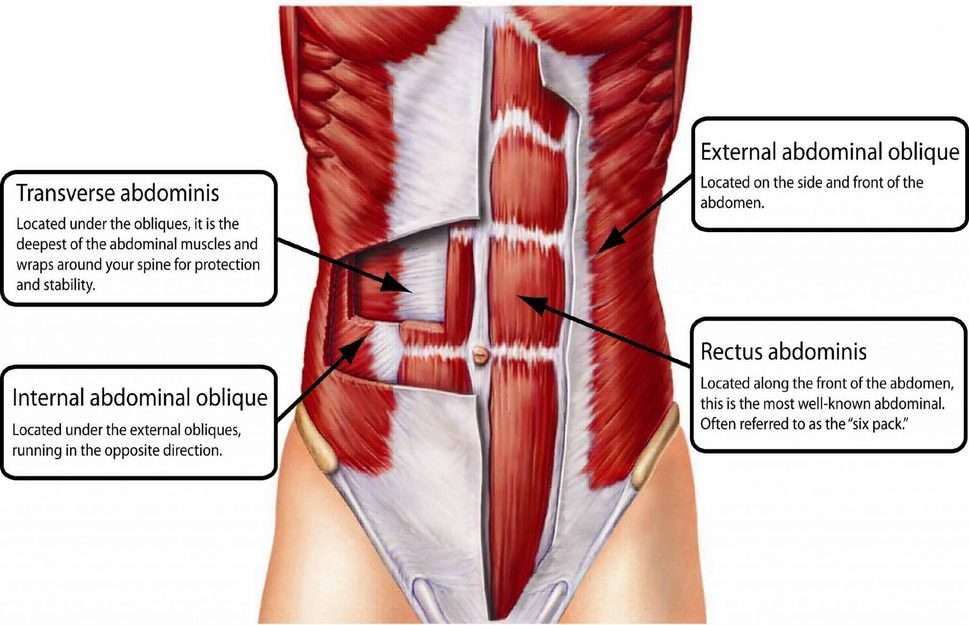 external and internal oblique muscles • Bodybuilding Wizard