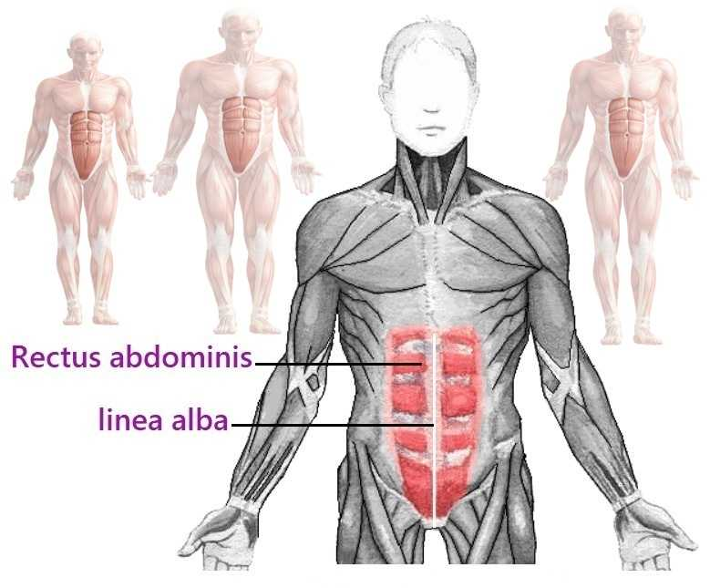 anatomy of the rectus abdominis muscle