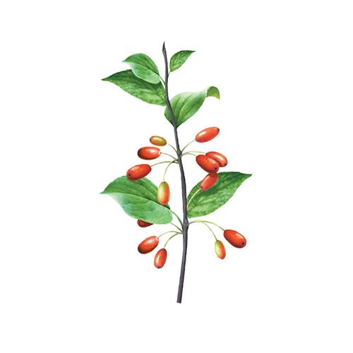evodia fruit thermogenic ingredient
