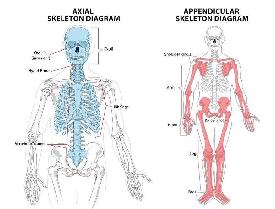 axial skeleton & appendicular skeleton