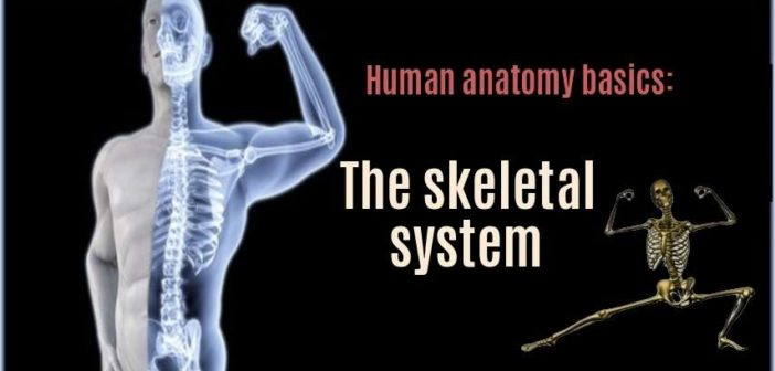overview human skeletal system anatomy