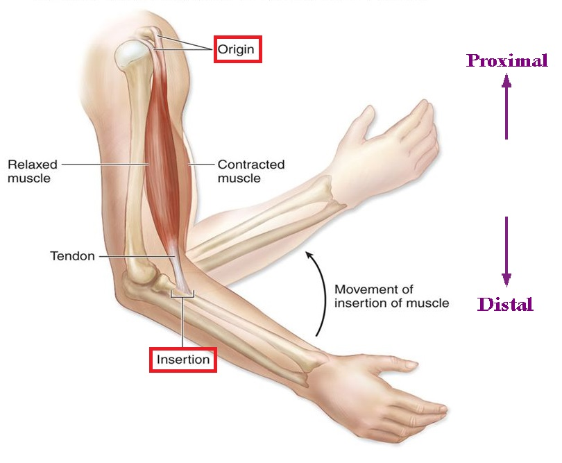 The biceps brachii: points of attachment