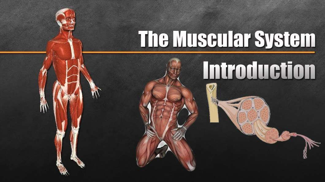 Meet Your Muscles Muscular System Anatomy Bodybuilding Wizard