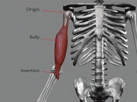 The parts of a muscle: muscle belly and points of attachment