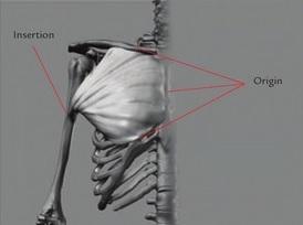 Pectoralis origin and insertion