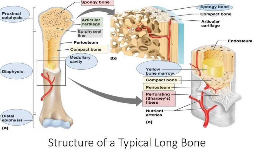 structure of the human bone anatomy