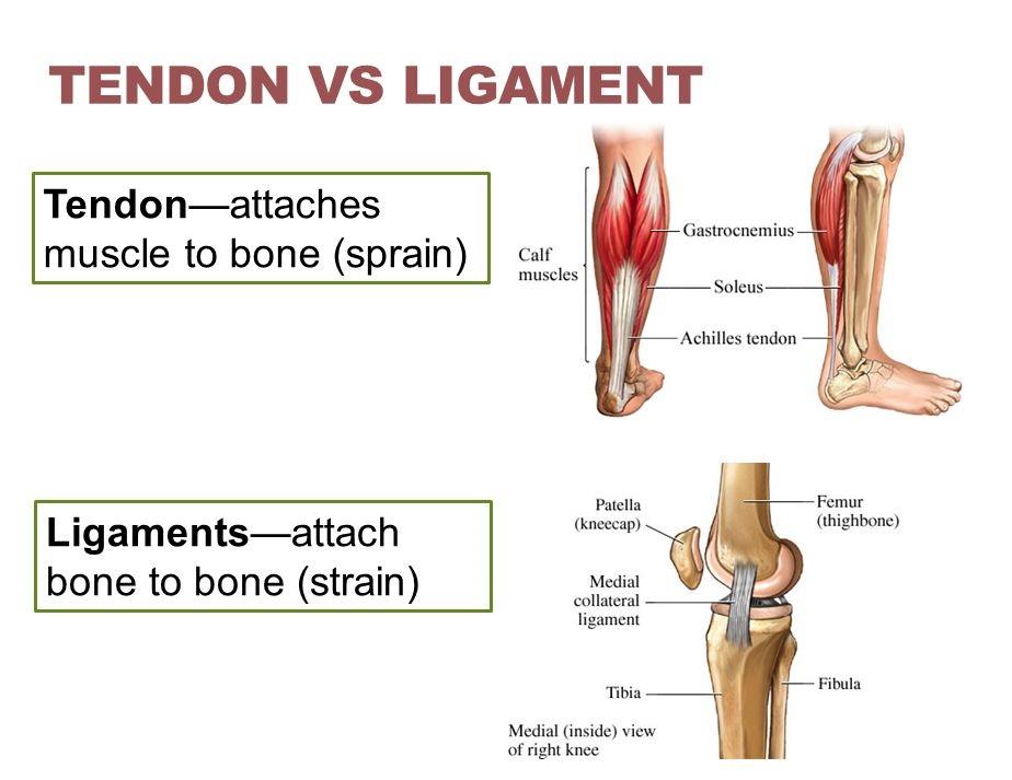 tendons vs ligaments anatomy