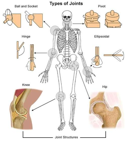 types of joints in human skeleton