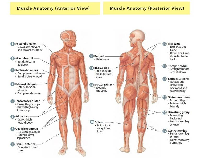 Important Skeletal Muscles Of Human Body Bodybuilding Wizard