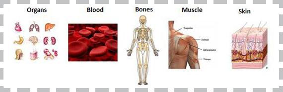 lean body mass diagram