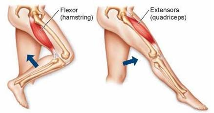muscle action: flexion vs. extension