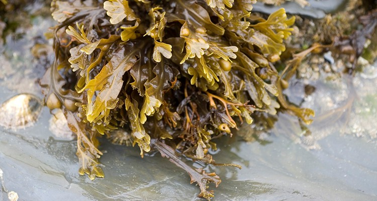 Bladderwrack: Does it Really Aid Weight Loss? • Bodybuilding