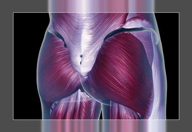 lower body muscles anatomy- hip musculature