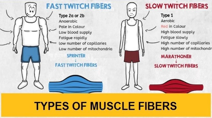 Types of muscle fibers: Slow-twitch Vs  Fast-twitch