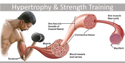 muscle fiber growth