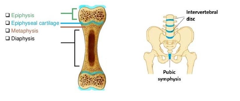 Cartilaginous joints: epiphyseal cartilage, intervertebral disc, pubic symphysis