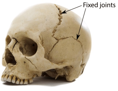 immovable joints: joints that connect bones of the skull (excluding the jaw bone)