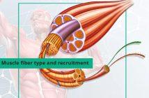 maximal muscle fiber recruitment bodybuilding