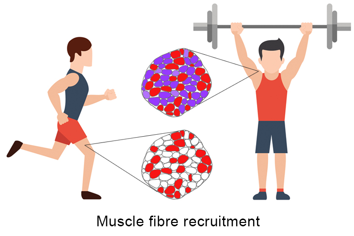muscle fiber recruitment process